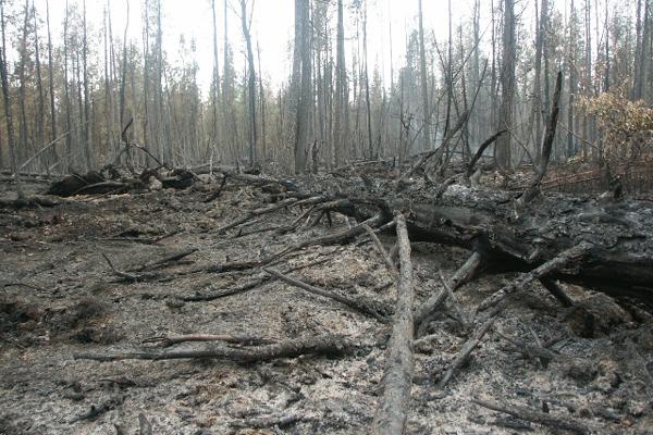 Лес после низового пожара